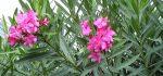 معرفی خواص درمانی گل خرزهره برای سلامتی|عوارض