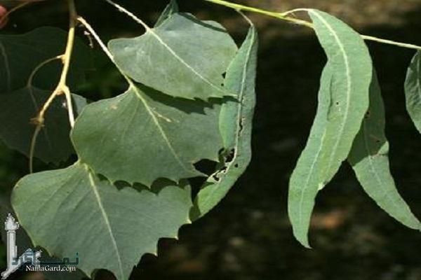 معرفی خواص درمانی گیاه پده برای تب و التهاب | کاربردها
