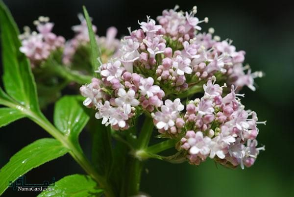 30 خواص درمانی گیاه سنبل الطیب برای بدن نحوه مصرف