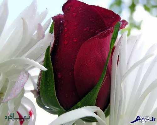 عکس پروفایل گل رز جدید