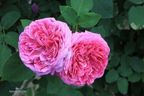 عکس پروفایل گل رز خاص