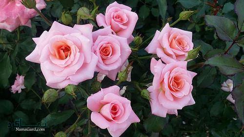 عکس پروفایل گل عاشقانه زیبا