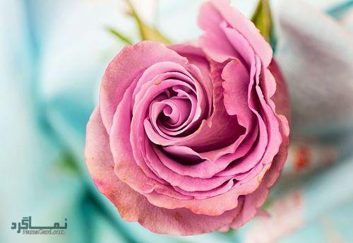 عکس پروفایل گل عاشقانه
