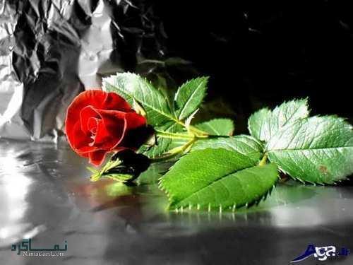 عکس پروفایل گل رز زیبا