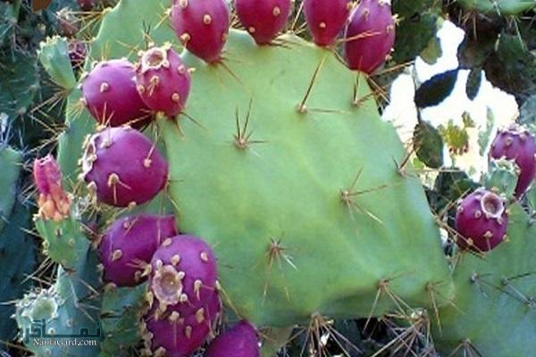 خواص درمانی کاکتوس و میوه ی آن برای سلامتی