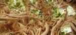 معرفی خواص درمانی گیاه لور برای سلامتی