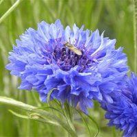 ۴۷ خواص درمانی گیاه گل گندم برای سلامتی | مضرات