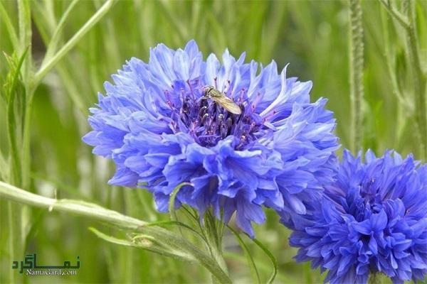 47 خواص درمانی گیاه گل گندم برای سلامتی | مضرات
