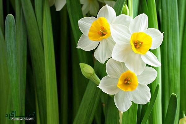 خواص درمانی باورنکردنی گل نرگس | مضرات آن