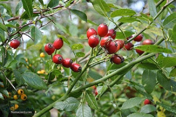 خواص درمانی گل نسترن، میوه و روغن آن | عوارض مصرف