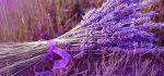 معرفی خواص درمانی گیاه لاواند (اسطوخودوس)