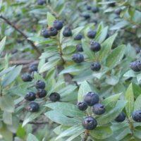 خواص درمانی گیاه مورد (مورت) برای سلامتی|عوارض مصرف