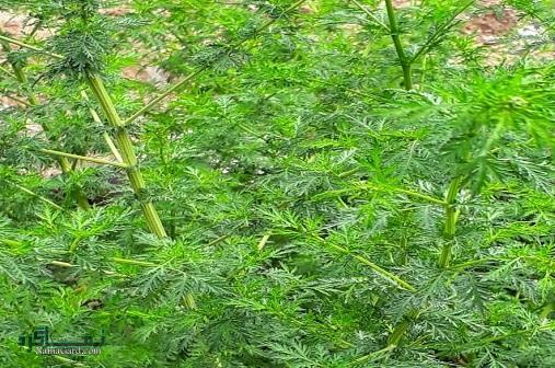خواص درمانی گیاه گندواش برای سرطان | مضرات