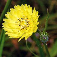 خواص و فواید درمانی کاسنی زرد برای سلامتی