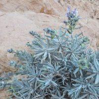 خواص درمانی گیاه مور تلخ برای ( درمان ناراحتی معده)