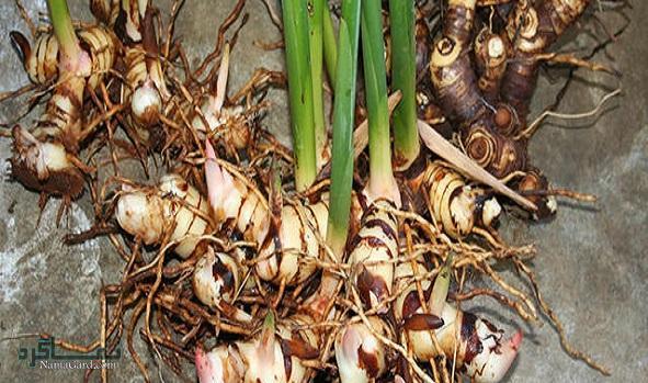 آشنایی با خواص درمانی گیاه خولنجان   مضرات آن