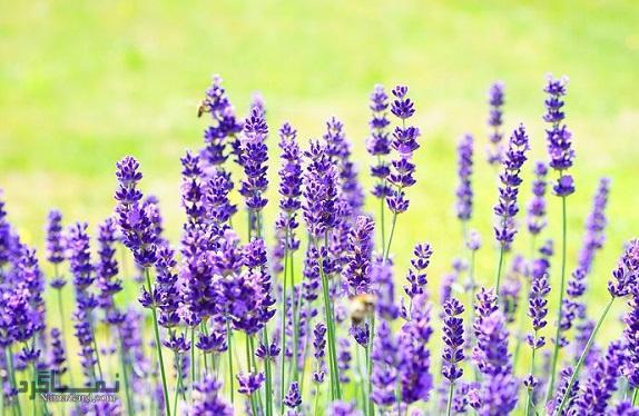 خواص و فواید درمانی شگفت انگیز گیاه اسطوخودوس