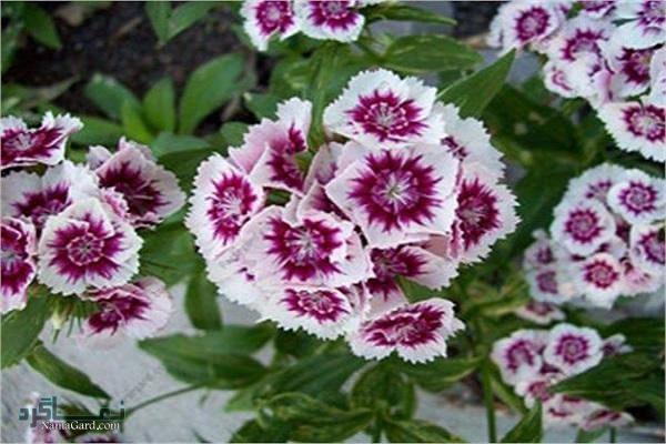 خواص و فواید درمانی شگفت انگیز گیاه قرنفل(مضرات آن )