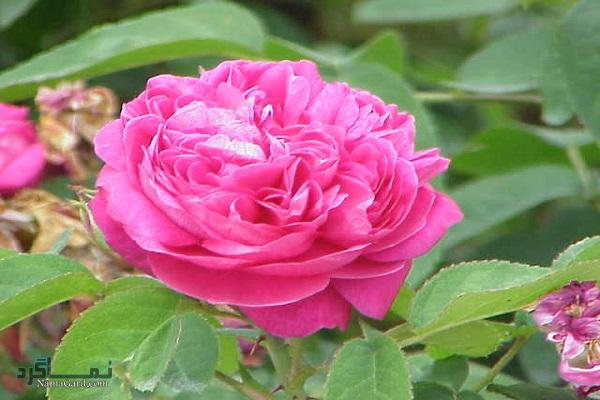 57 خواص درمانی گل محمدی + دمنوش و روغن آن