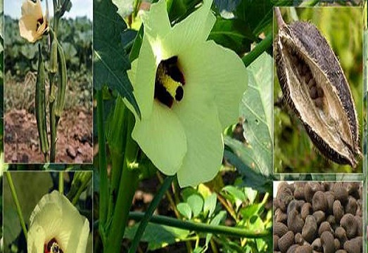 خواص درمانی معجزه آسا گیاه مشک دانه برای سلامتی