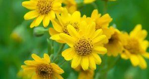 آرنیکا چیست؟ | ۴ خاصیت شگفت انگیز گل همیشه بهار کوهی