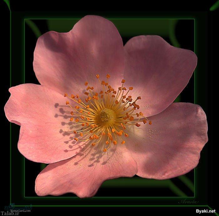 گلهای زیبا و عاشقانه جدید