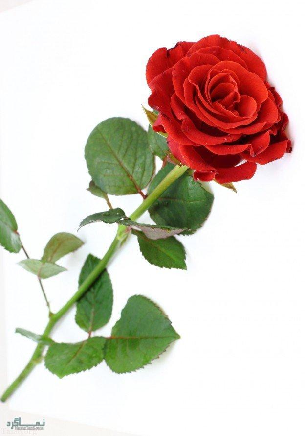 زیباترین عکس گلهای متفاوت
