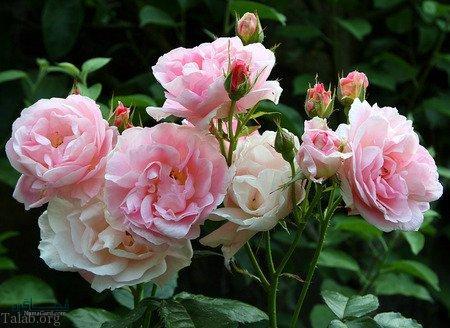 گل زیبای عاشقانه ناب
