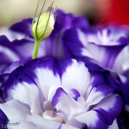 عکس گلهای خاص متفاوت