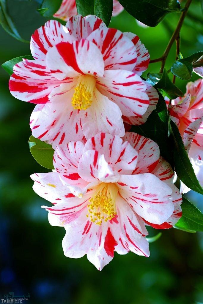 زیباترین عکس گلهای شیک