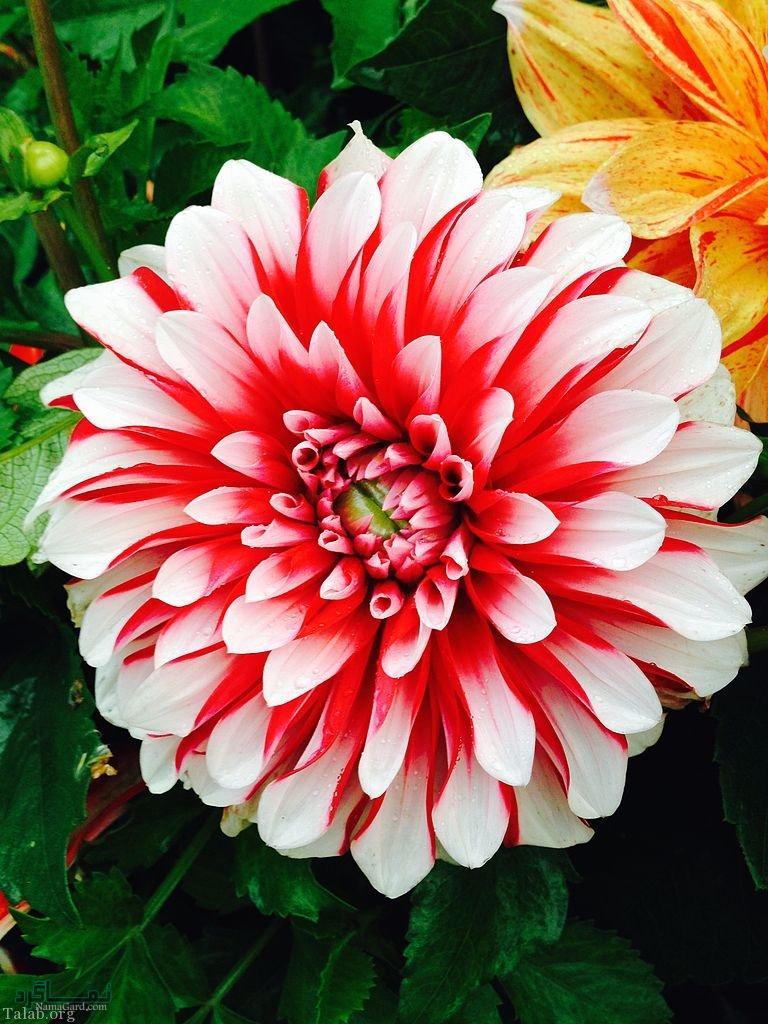 گلهای شیک متفاوت