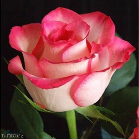 عکس گلهای خاص زیبا