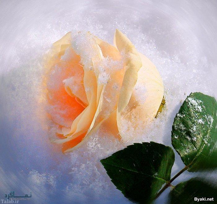 گلهای شیک باکلاس