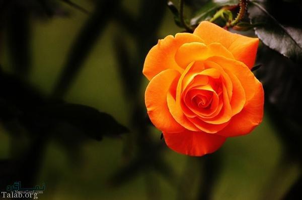 زیباترین عکس گلهای خاص