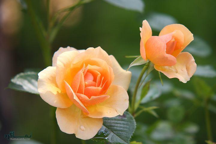 عکس گلهای جدید شیک