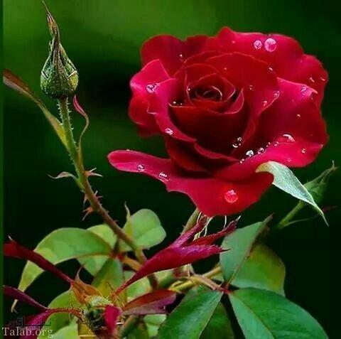 عکس گل شیک