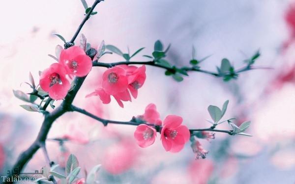 عکس گل عاشقانه خاص