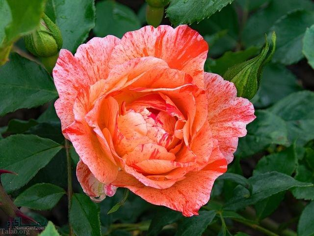 عکس های گلهای جدید