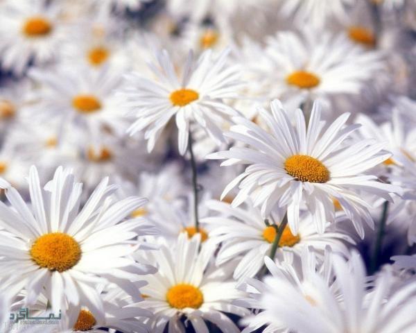 عکس گلهای زیبای جذاب