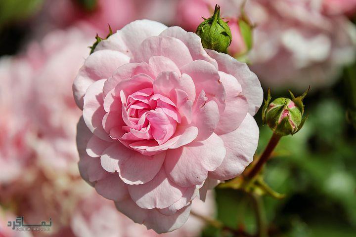 عکس گلهای رز جذاب