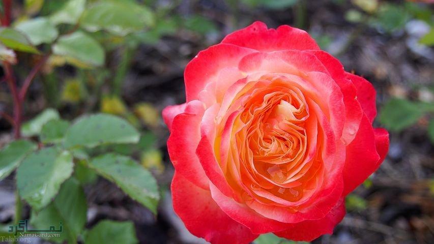 عکس های گلهای جذاب