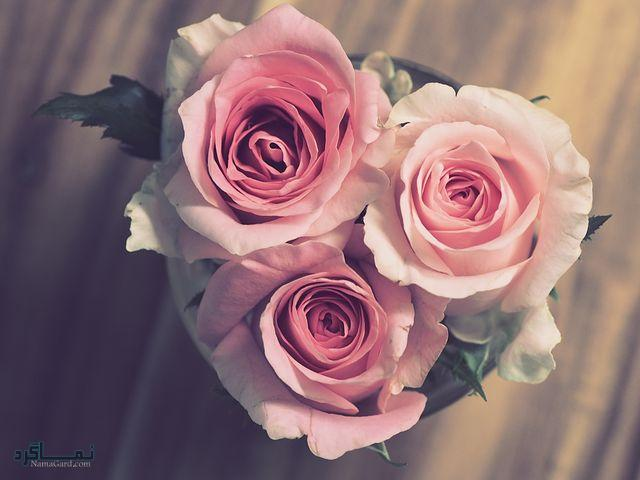 عکس گل رز قرمزجذاب
