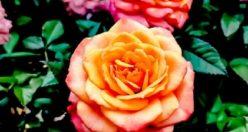عکس پروفایل گل زیبا + زیباترین عکس های گل جدید (۸)