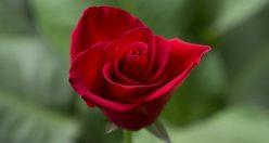 عکس پروفایل گلها + زیباترین عکس های گل جدید خاص (۷)