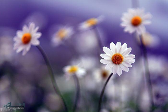 عکس پروفایل گل های زیبا