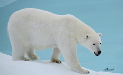 معمای سخت خرس قطبی برای متفکرها !!! + همراه با جواب