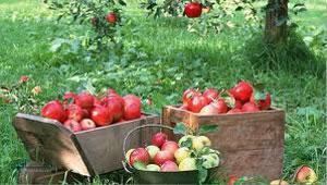 معمای بسیار جالب تعداد سیب ها + جواب