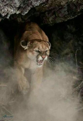 عکس های شیر سلطان جنگل زیبا