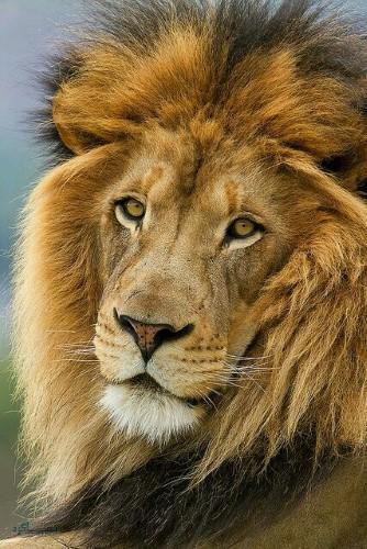 عکس شیر سلطان جنگل زیبا