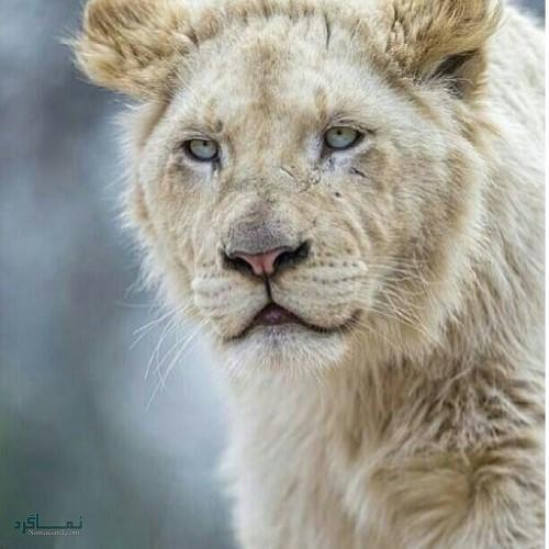 عکس های پروفایل سلطان جنگل جذاب